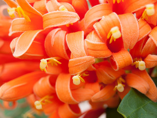 Close-up of Orange Trumpet flower in nature
