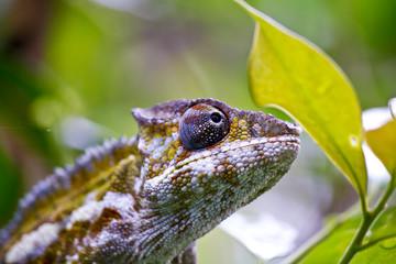 Nice colorful chameleon, cameleon lizard on madagascar