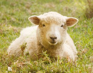Portrait single sheep lying in grass