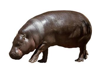 Female hippopotamus