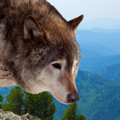 Head of wolf  against wildness