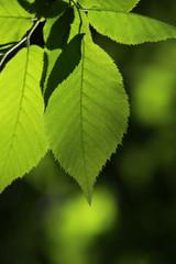 Back-lit Beech Leaves