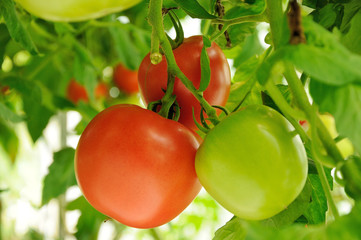branch of green and red tomatoes