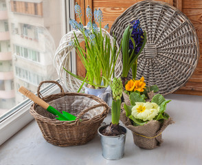 Hyacinths and primroses near the basket and a shovel on the wind