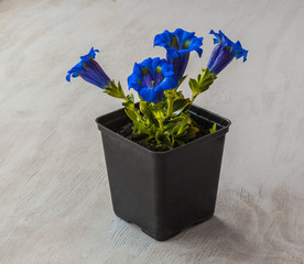 Gentian (Gentiana grandiflora)  plant in a flowering pot