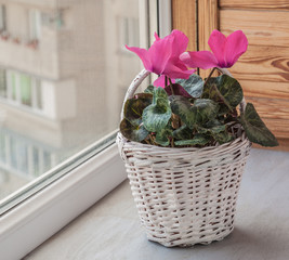 Pink cyclamen flowers in white basket on a window