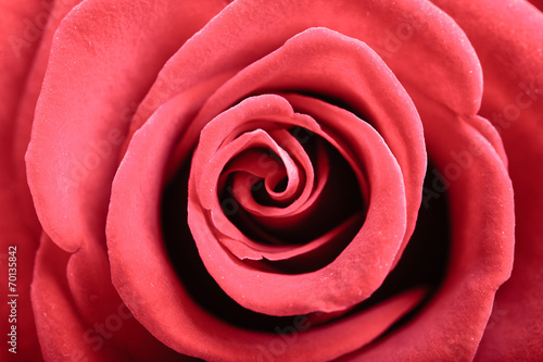canvas print picture Closeup of blossoming red rose flower as background