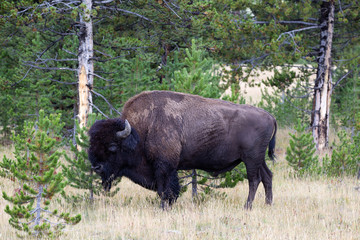North American Buffalo Grazing near edge of woods during late su