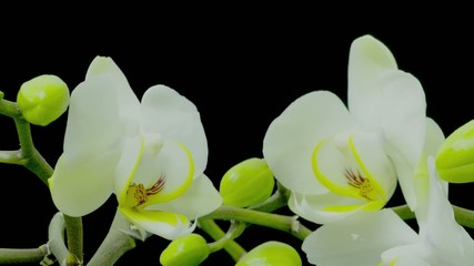 Time-lapse of white phalaenopsis orchid opening