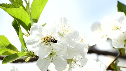 honey bees collect flower nectar