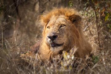 Male African Lion (Pathera leo)