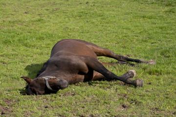 Pferd schläft auf der Koppel