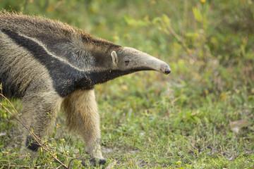 Giant Anteater, Closeup Profile