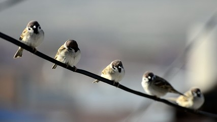 Sparrow birds sitting on wire