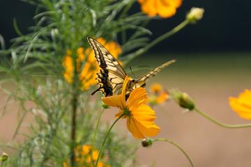 秋の花 コスモスとアゲハチョウ
