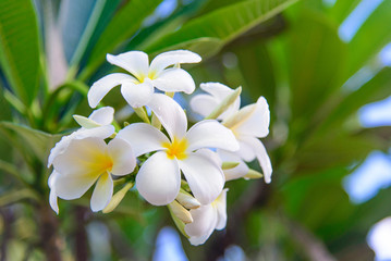 Plumeria (frangipani) flower with leaves at tree branch