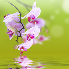 Pink orchids over water