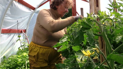 Old senior gardener woman care tomatoes plants in greenhouse