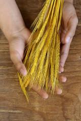 sheaf of wheat ears in male hands