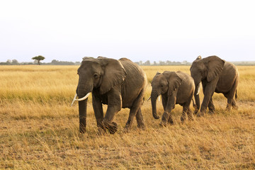 Family of Elephants on the Masai Mara