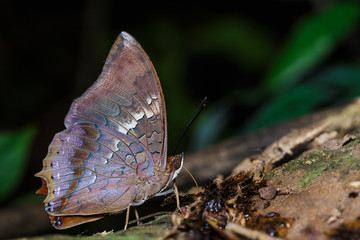 The scarce rajah butterfly is sucking food
