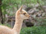 Young llama vicuna portrait