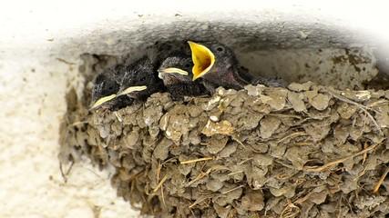Swallow Baby Chicks Feeding in Nest