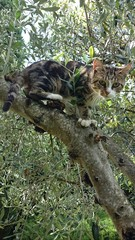 Katze auf Olivenbaum