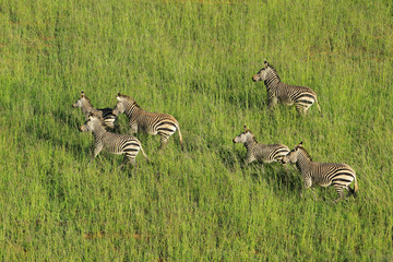 Aerial view of Hartmanns Mountain Zebras