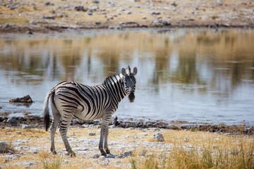 Zebra al lago