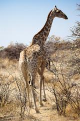 Giraffa tra le acacie in Namibia