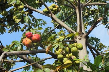 Sterculiaceae on tree, use for alternative energy ethanol and bi
