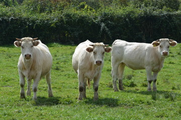 Young Charolais Cows / Young Charolles Cows