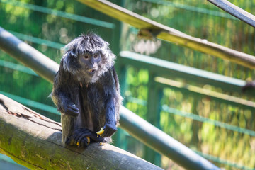 The Javan langur monkey in the zoo