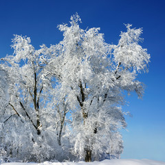 Winter frosty tree