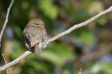 Jungle owlet in Bardia, Nepal