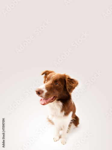 canvas print picture Cute border collie with copy space
