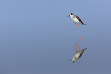 black-winged stilt standing in the blue water, thailand