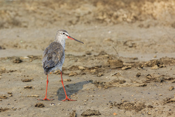 common redshank standing on land