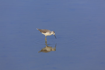 Juvenile Stilt Sandpiper standing in open water.