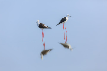 pair of black-winged stilt standing in the blue water, thailand