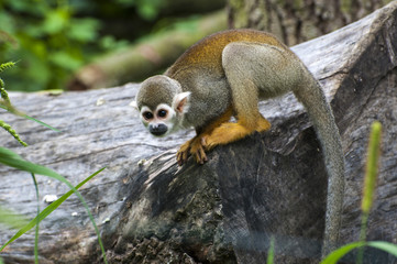 South American Squirrel Monkey (Saimiri sciureus)