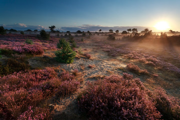 sunshine over meadow with blooming heather