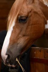 cheval en box