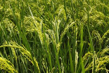 Green Rice fiiled