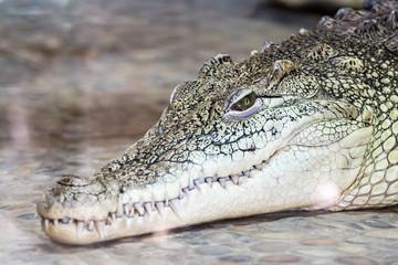 big head of a crocodile