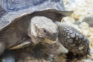 big turtle closeup