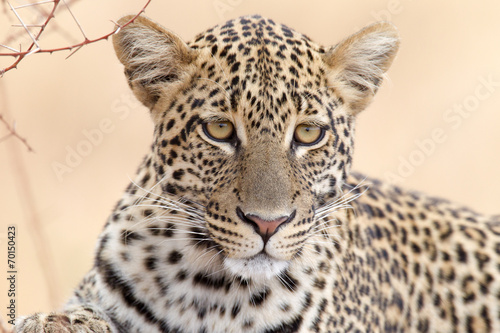 Canvas Luipaard Leopard - Portrait
