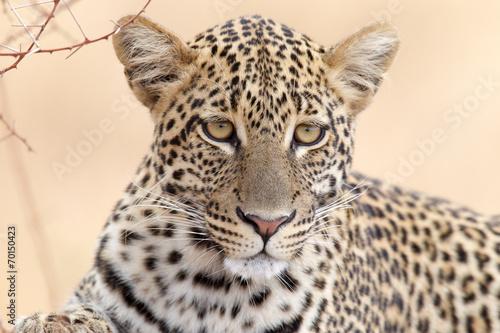 Foto Spatwand Luipaard Leopard - Portrait