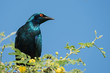 A Greater Blue-eared Glossy Starling (Lamprotornis chalybaeus) p